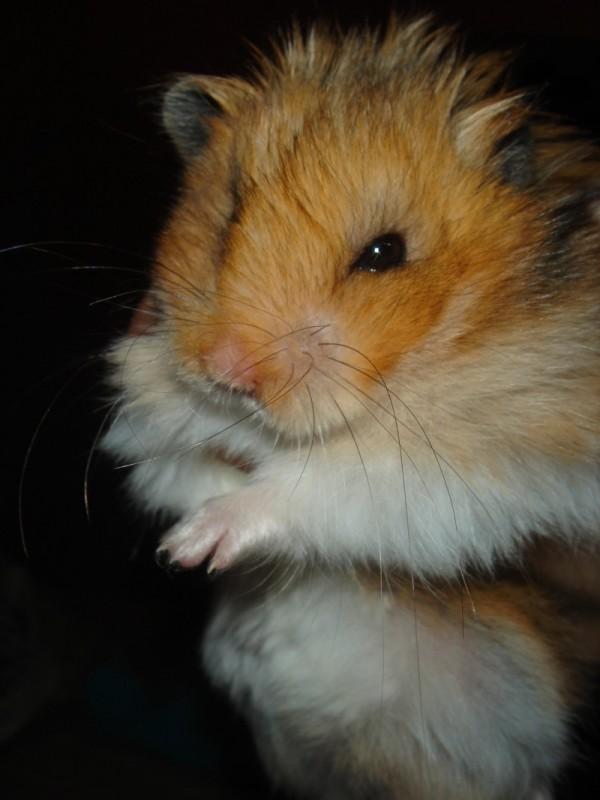Booger hamster held by hand cute hamtastic
