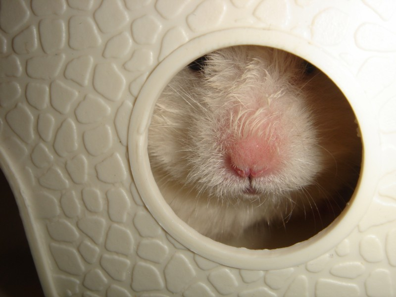 Skuzzball syrian hamster attempts to hide cute ham