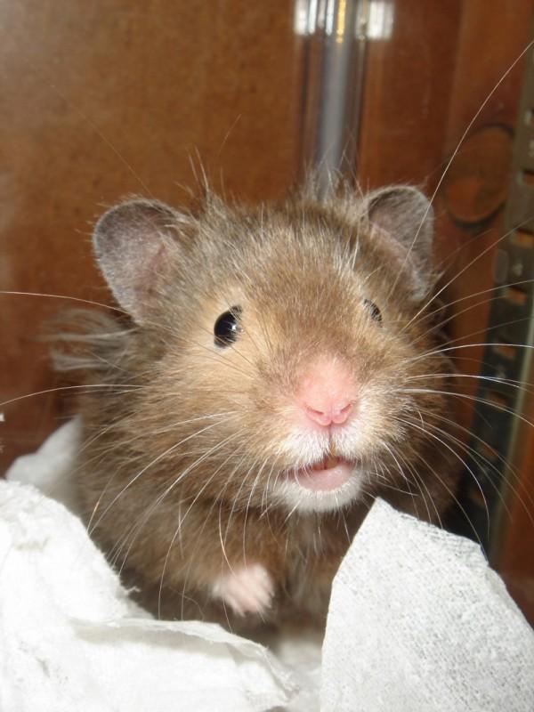 Vyvyan hamster syrian hamtastic cute