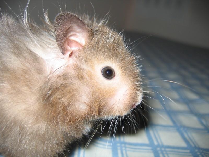 Vyvyan syrian hamster cute hamtastic