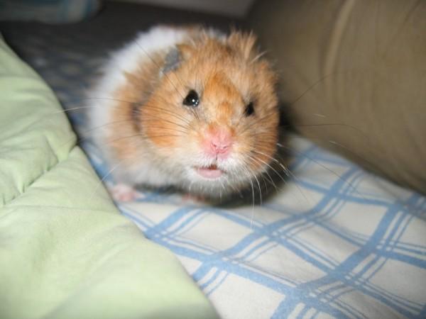 Booger cute hamtastic syrian hamster