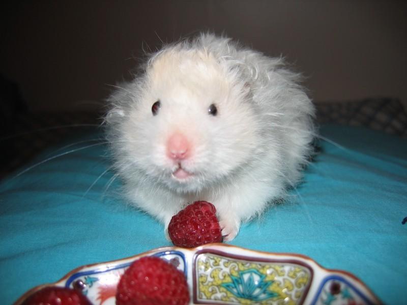 skuzzball hamster raspberry hamtastic