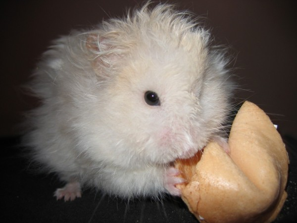 Skuzzball hamster climbs around cute hamtastic