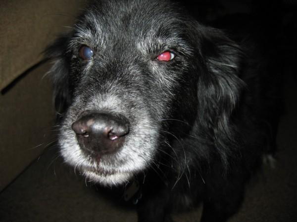 Aussie dog Austrailain Shepard