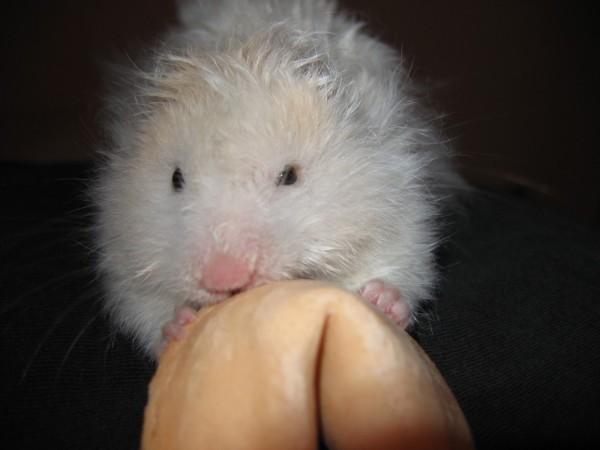 skuzzball syrian hamster hamtastic