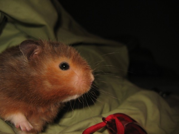 vyvyan syrian hamster hamtastic cute