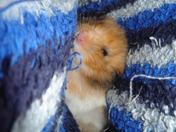 booger syrian hamster hamstastic cute