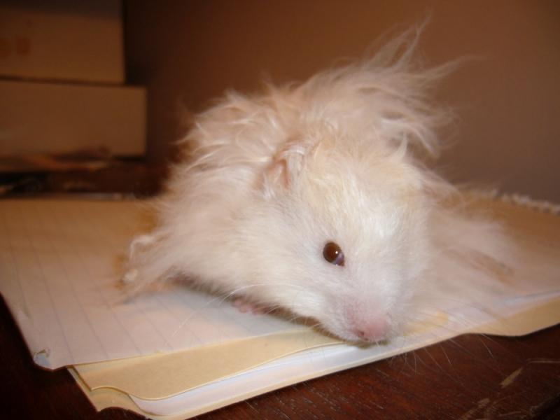 skuzzball hamster syrian hamtastic cute