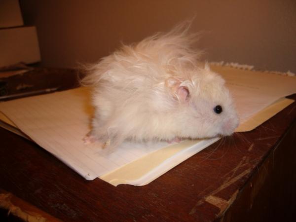 Skuzzball syrian hamster hamtastic cute