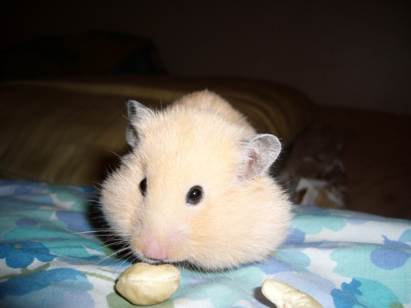 cashews pants hamster syrian hamtastic cute
