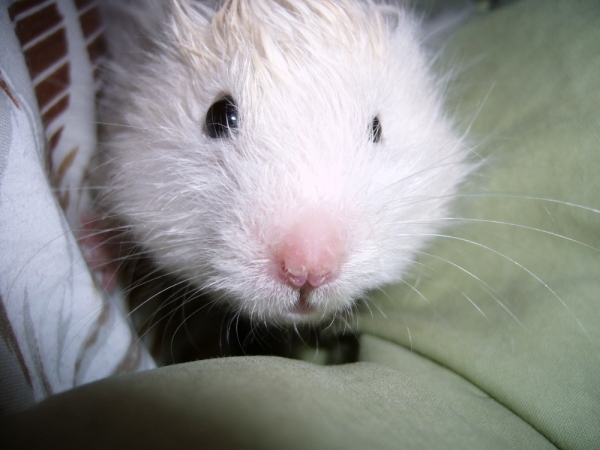 skuzzball syrian hamster hamtastic cute close face