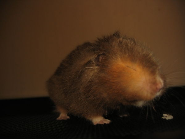 Vyvyan hamster