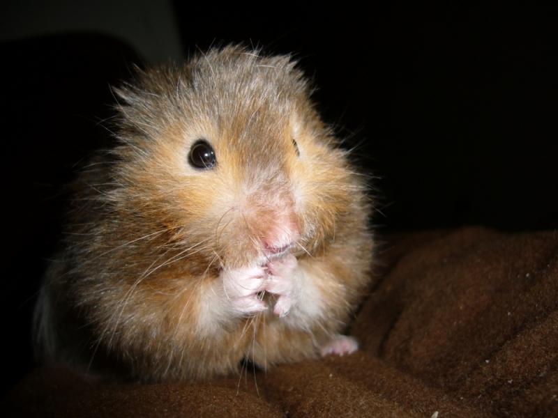 vyvyan syrian hamster