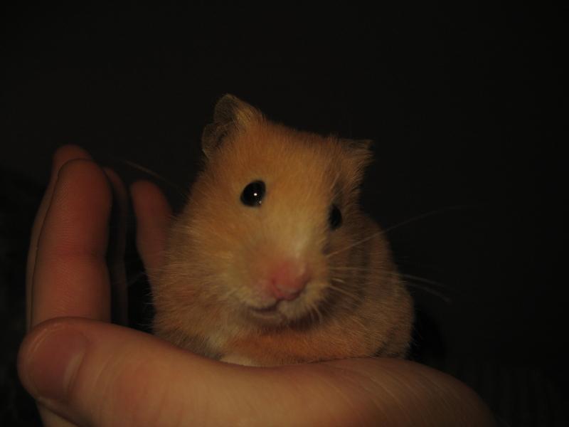pants syrian hamster hamtastic