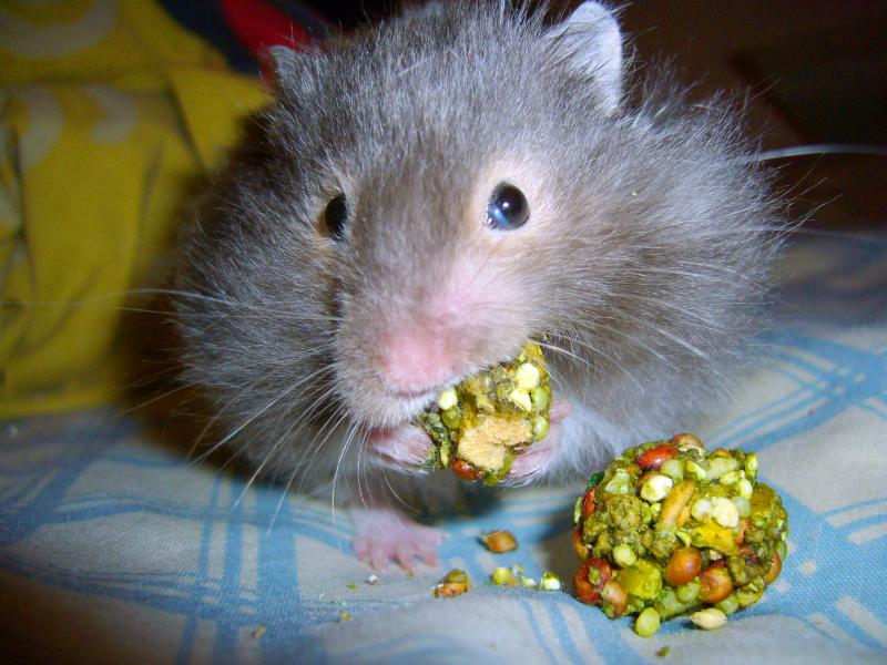Eddie hamster