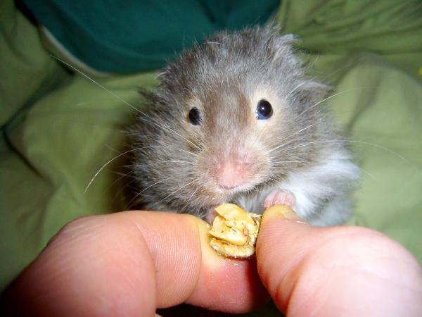 eddie syrian hamster hamtastic cute