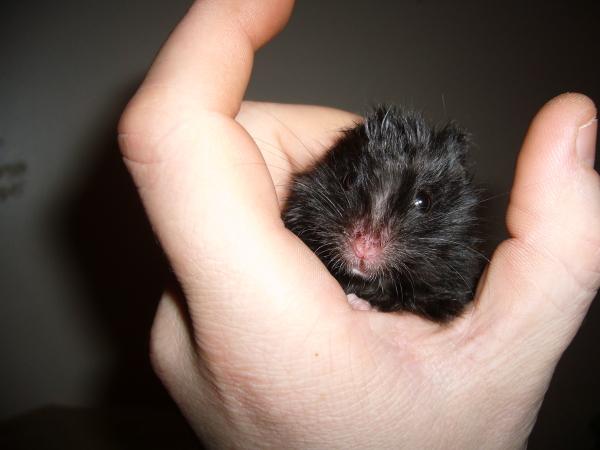 Floyd hamster syrian cute hamtastic