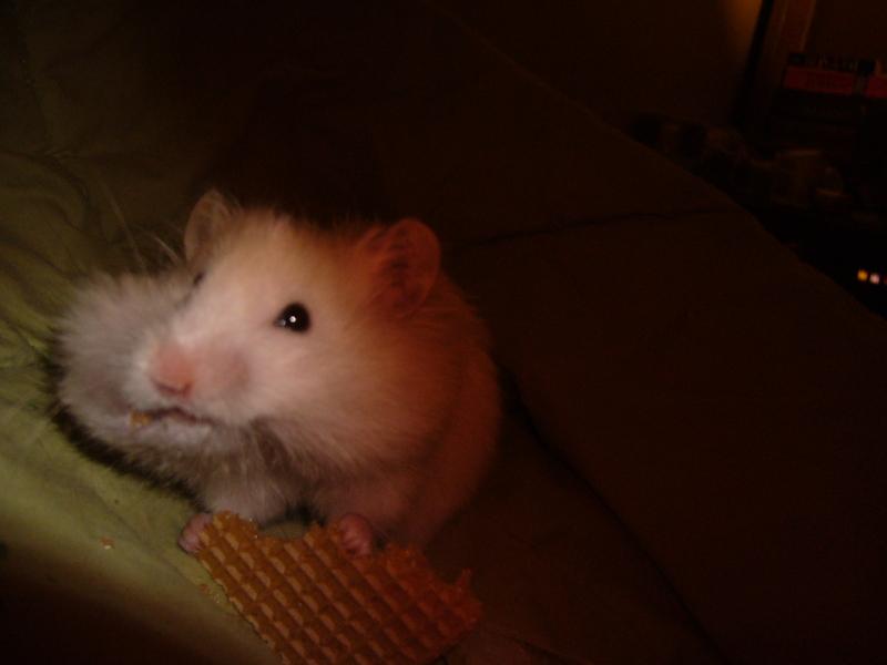 hugh syrian hamster hamtastic cute