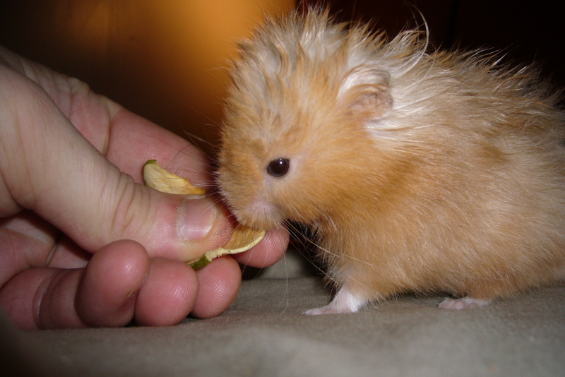 Biscuits syrian hamster cute hamtastic