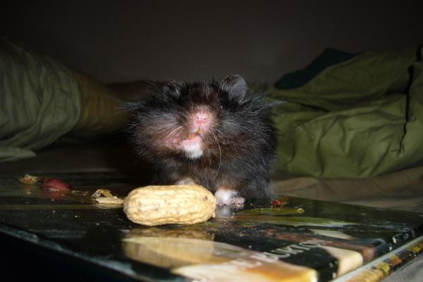 Navin syrian hamster cute hamtastic