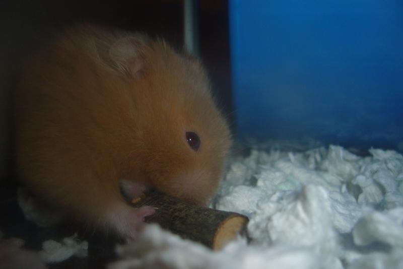 syrian hamster hamtastic cute
