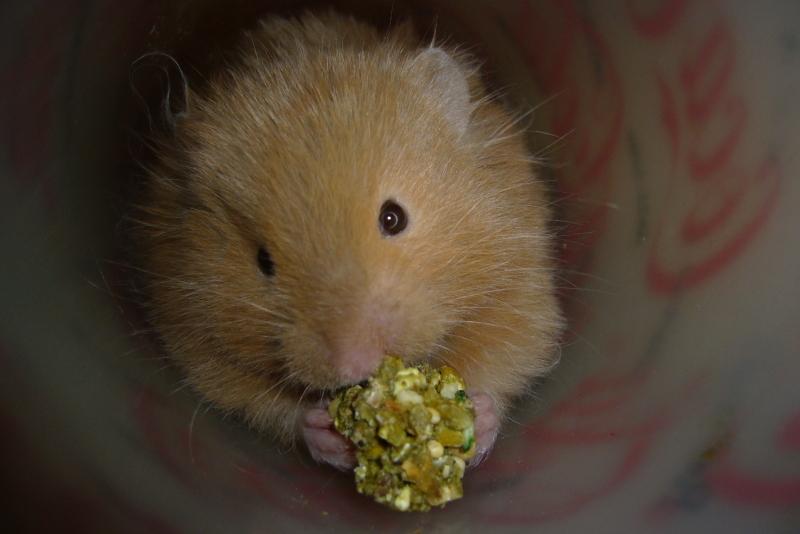 elliot syrian hamster hamtastic cute