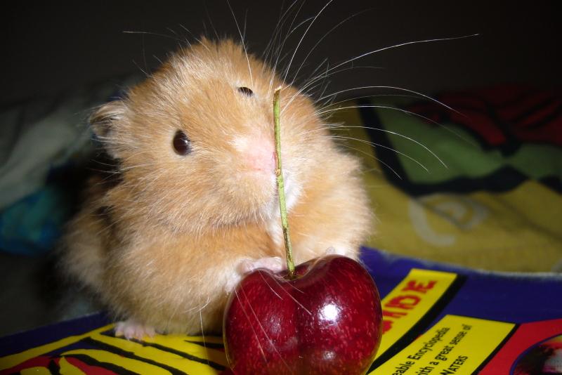 elliot syrian hamster cute hamtastic