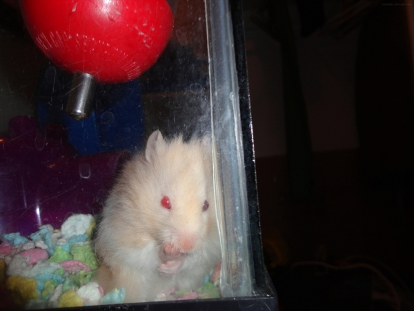 hector cute syrian hamster hamtastic