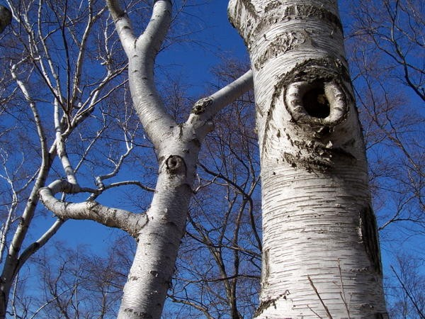 arnold arboretum birches, watching you