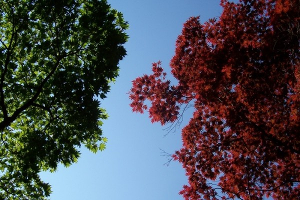 Japanese Maples Overhead