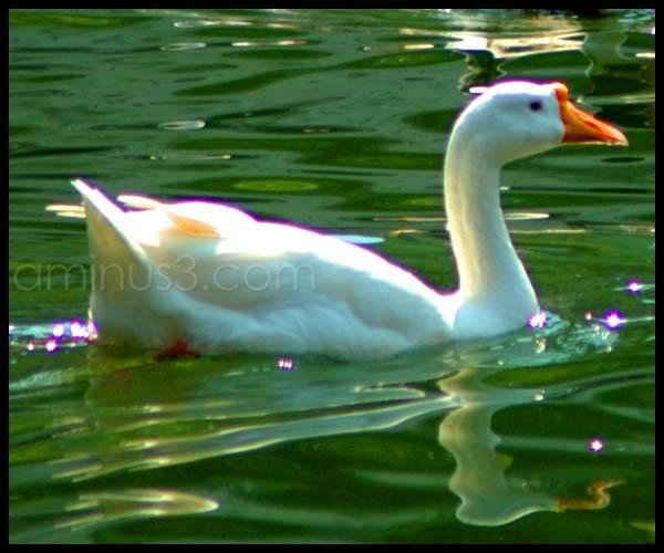 Golden Goose?