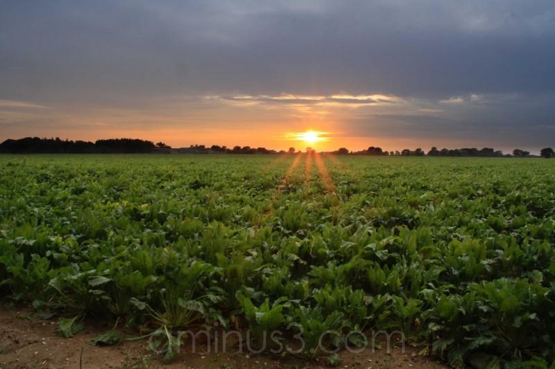 Sugarbeet crop in Norfolk UK