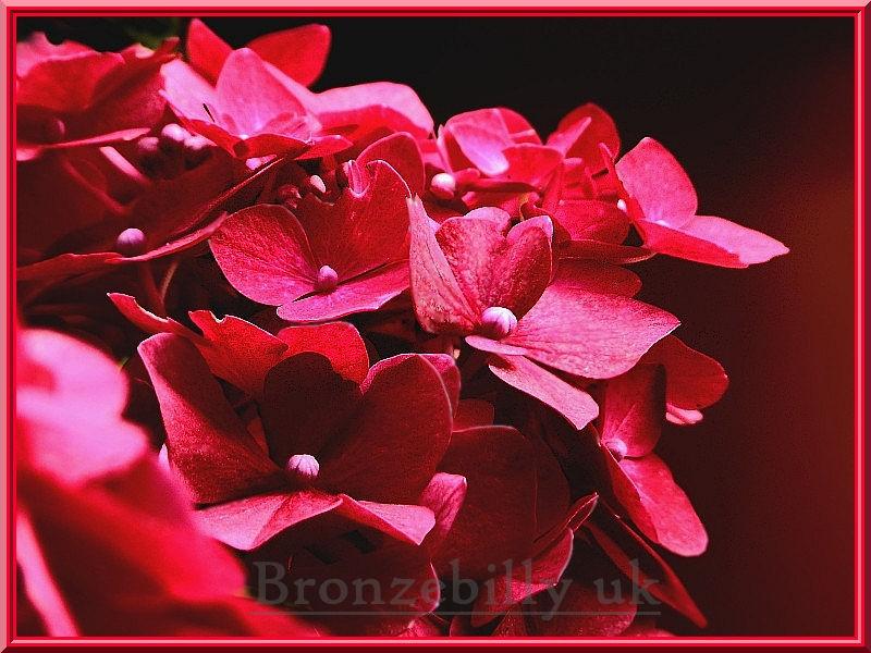 red flowers bronzebilly