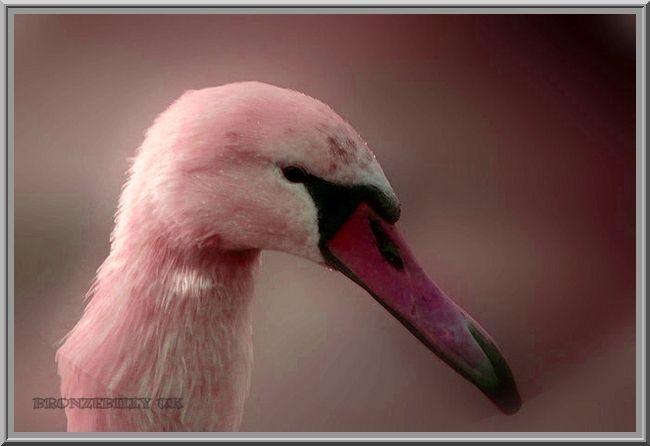 pink duck swan mix bronzebilly