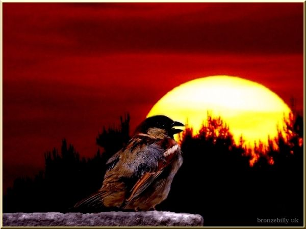 sunset sparrow layers blending bronzebilly