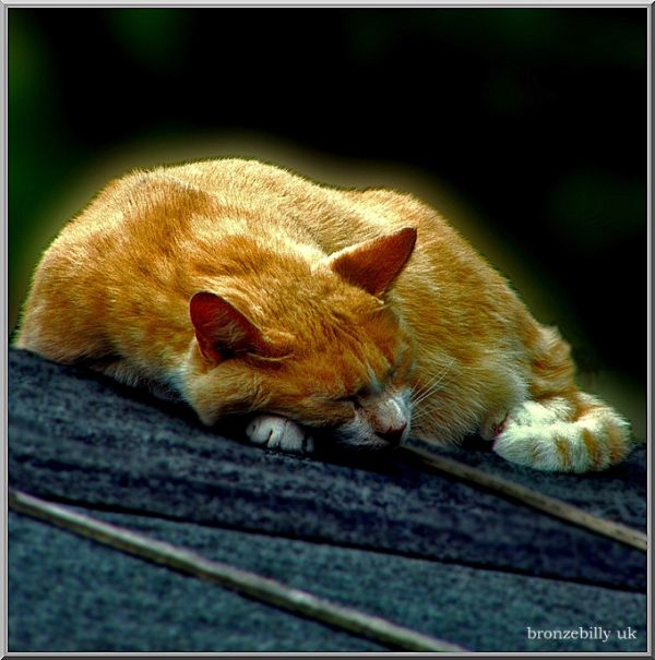 cat ginger sleep shed bronzebilly