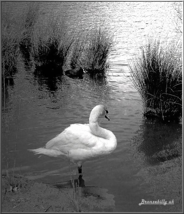 swan retro mono series bronzebilly