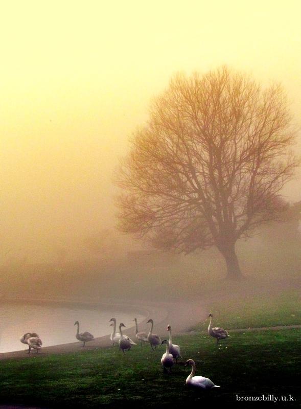 Swans mist sunlight lake bronzebilly