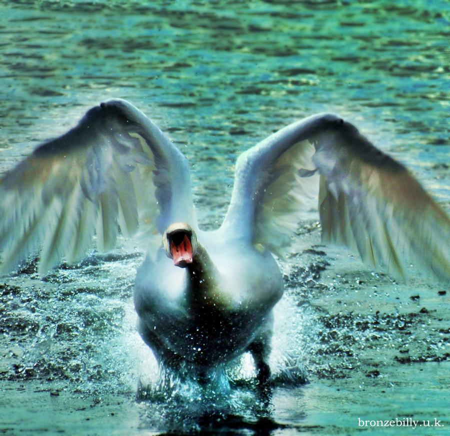 swan wings angel flight lake bronzebilly