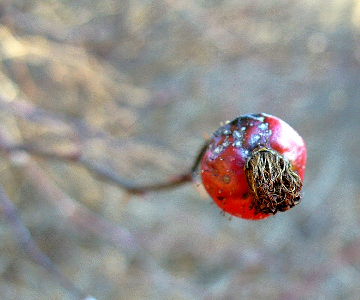 a rose hip by any other name ...