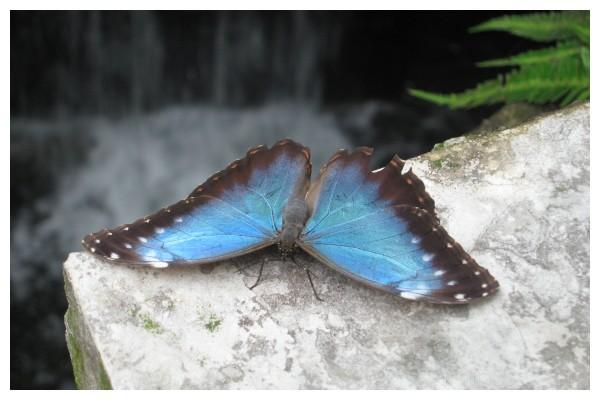 Karner Blue
