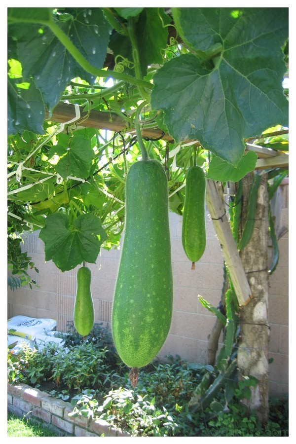 Gourd Melon