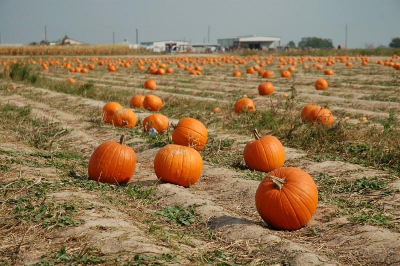 Pumpkin Field II
