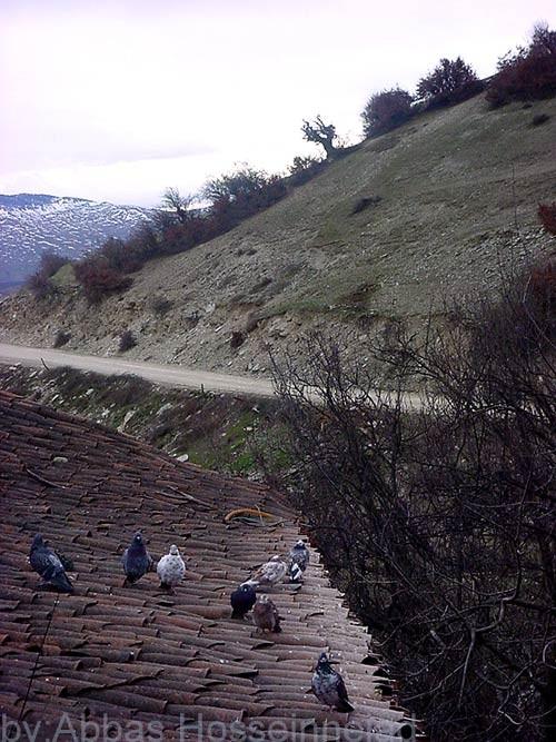 pegions کبوتران