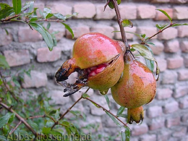 Pomegranate انار