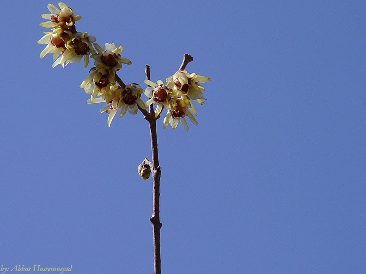 chimonanthus fragrans گل یخ