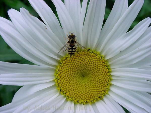 Bee زنبور