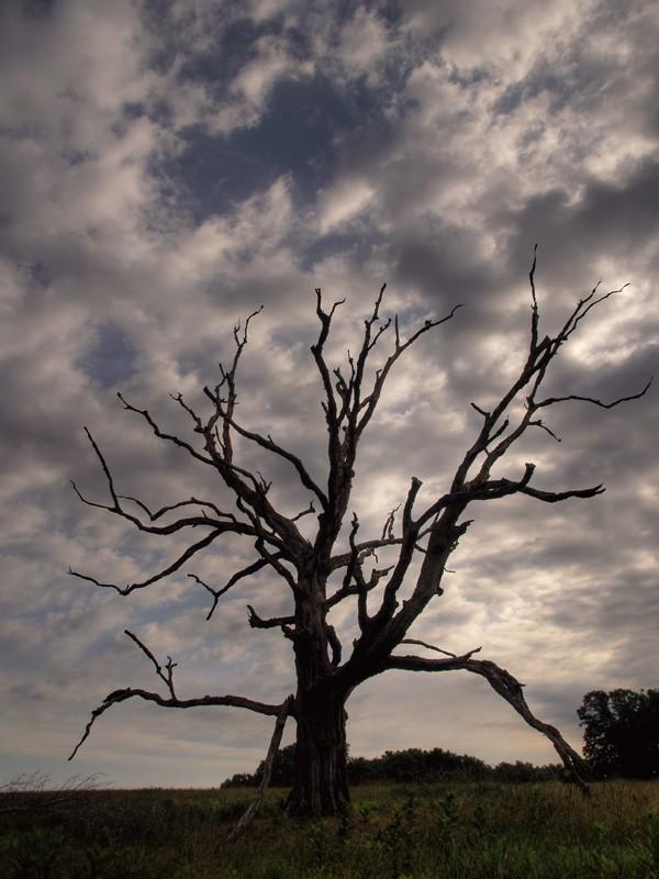Walnut Hill Tree