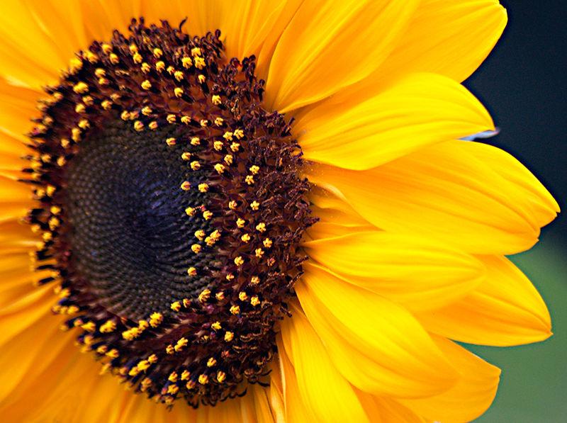 Sunflower, Tokoku Japan