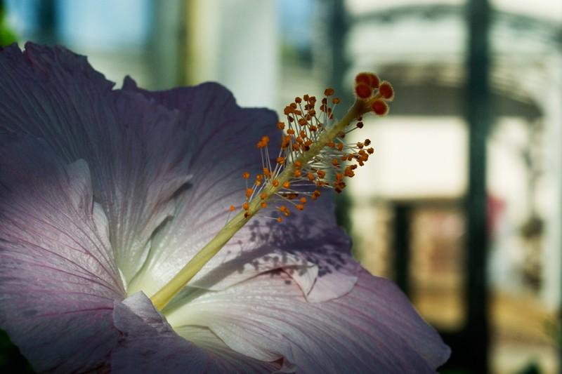 Greenhouse Hibiscus